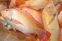 Red Tilapia fish / African fish