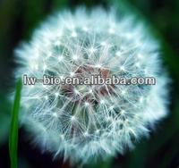 Natural dandelion herb root extract powder