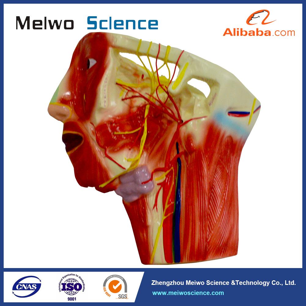 Neck anatomy pictures