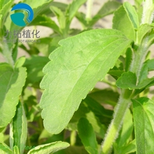 Factory price stevia leaf extract