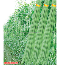 BE05 Hongzi light green early maturity long bean seeds in agriculture