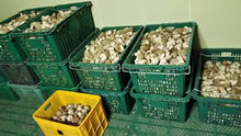 Buyers for Oyster Mushrooms Champignon Mushroom Canned