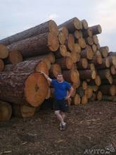 Larch logs of cedar and pine