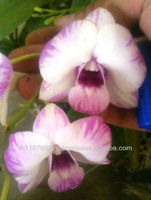 BB Orchids Dendrobium plants Mixed Crossed Hybrids