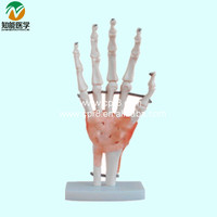 Life size hand Anatomical model with ligament BIX-A1021
