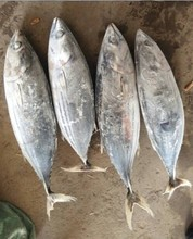 indonesia betta of skipjack tuna
