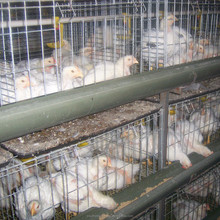 Professional automatic layer chicken big bird cage