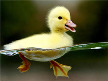 Cute little yellow duck swimming in water animated 3d duck picture