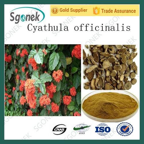 High Quality Achyranthes Bidentata extract/Cyathula officinalis Kuan