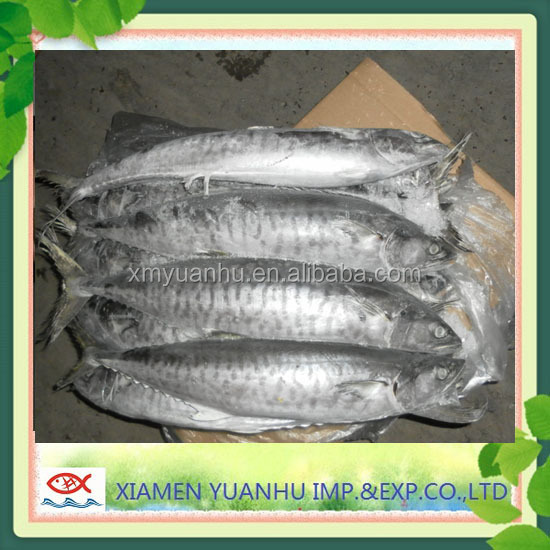 Frozen Spanish Mackerel Whole Round