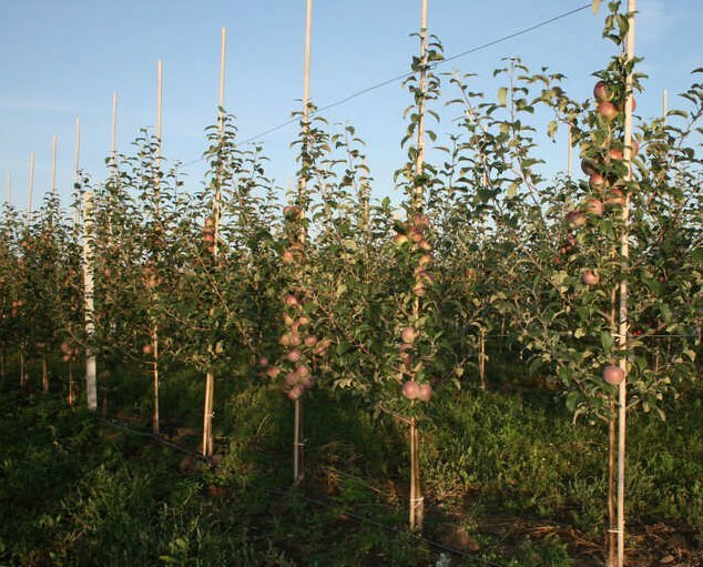 agriculture bamboo poles