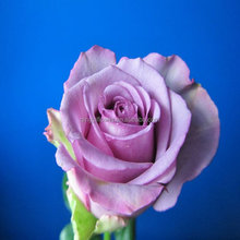 Supply purple color rose cool beauty flower rose