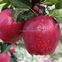 Fresh Chinese types of red apples wholesale prices apple fruit