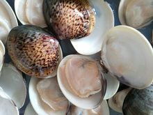 New Produce Frozen Hard Clam with Shell in Good Quality