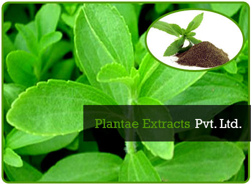 Natural Stevia Rebaudiana Bertoni and Stevia Extract