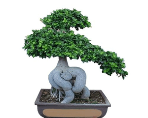 mini small medium decorative ornamental bonsai plants of Jinseng Ficus Microcarpa