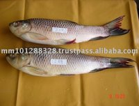 Fresh Fish Rohu
