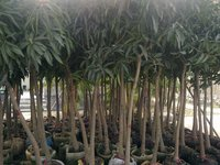 Mangos fruit trees ready for loading container