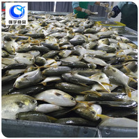 wholesale frozen seafood pompano fish