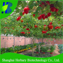 High Yield Tomato Tree Seeds For Sale