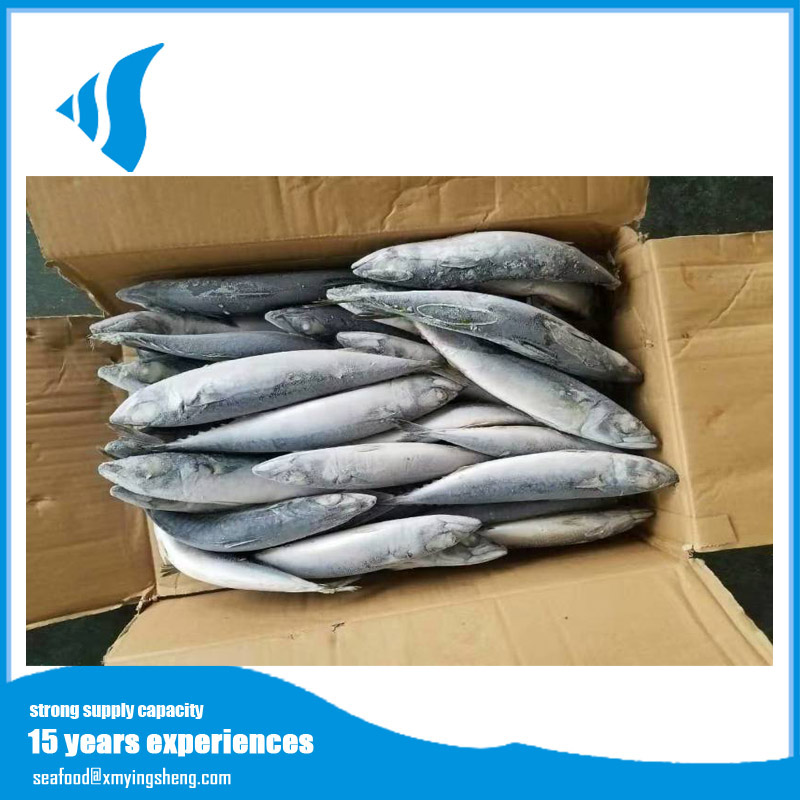 Small size frozen pacific mackerel for indonesia market selling