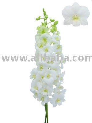 DENDROBIUM WHITE ANNA Orchid