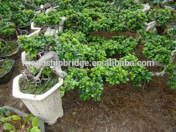 Real Bonsai Ficus for landscaping indoor and outdoor