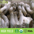 Health Food King Oyster Mushroom Block Shape For Cultivating
