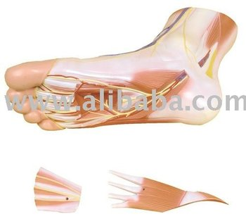 Muscles of the foot