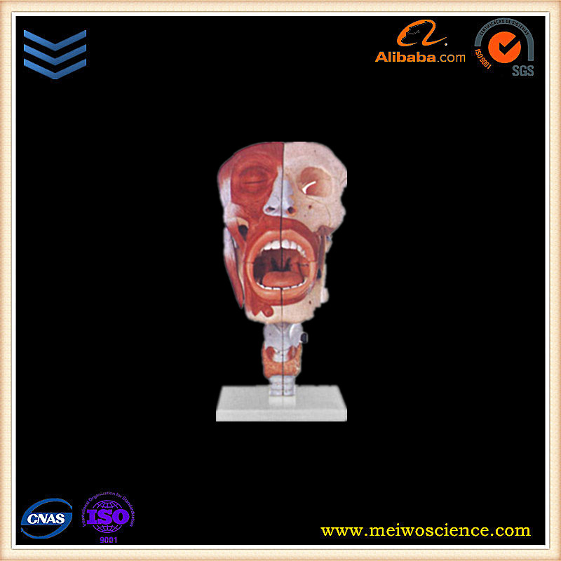 Nasal,oral,pharynx and larynx cavities human body anatomy model for medical teaching