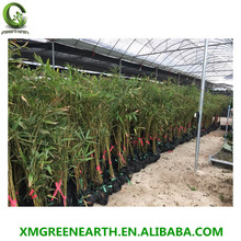 bamboo plants moso bamboo PHYLLOSTACHYS PUBESCENS PHYLLOSTACHYS EDULIS
