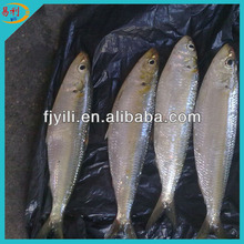 Supply frozen sardines
