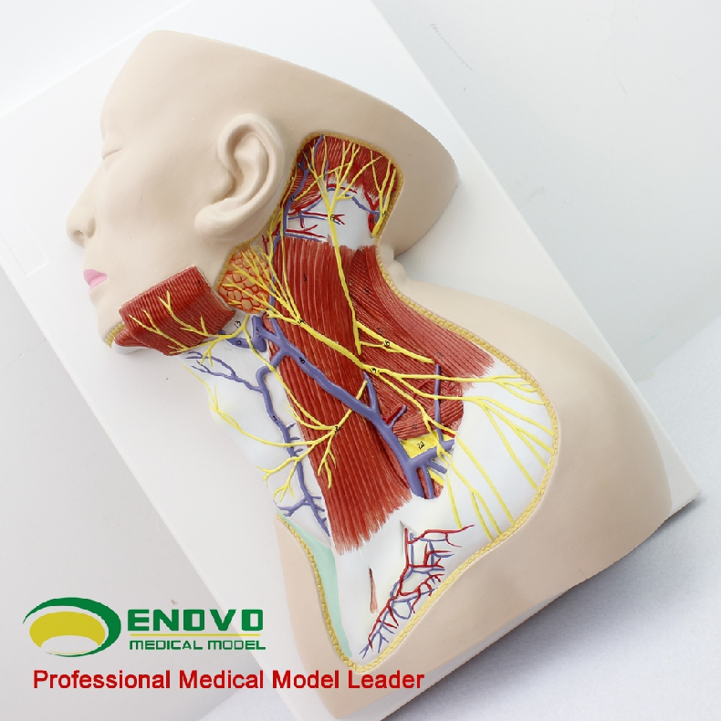 Brain Anatomy 12418 Life Size Human Nerves Of Neck Region Education