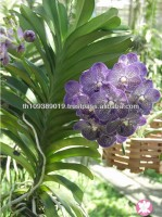 Thailand Tropical Natural Fresh Vanda Orchid Plants for Sale
