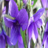 Lan Hua Yuan Wei China Supplier Planting Iris Flower Seeds and Bulbs