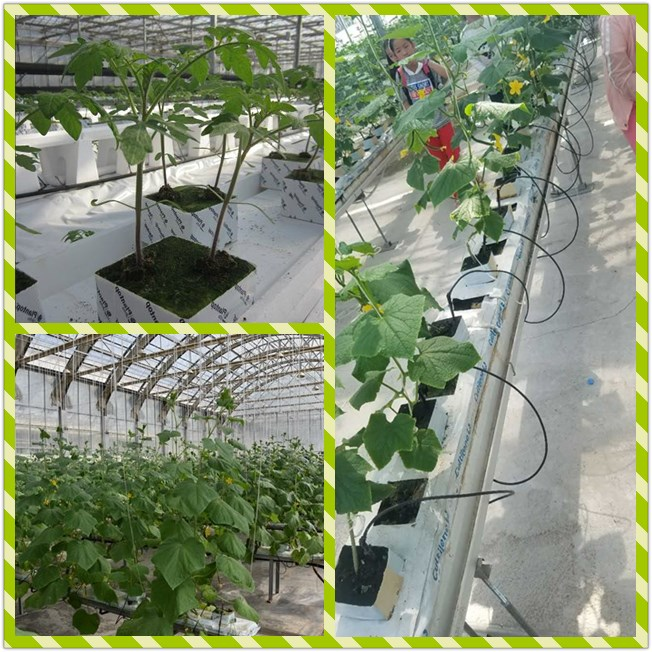 Farm and Greenhouse use hydroponic planting rock wool cubes