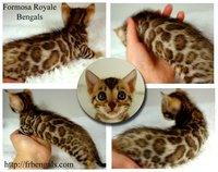 Female Bengal Kitten For Sale