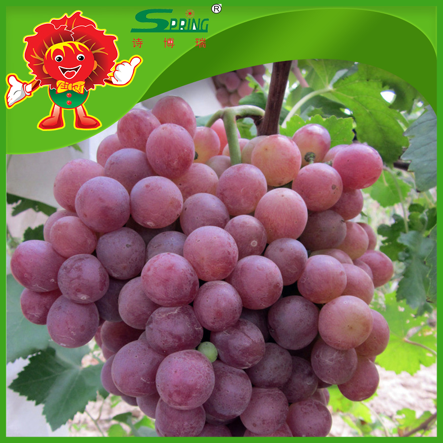 globe best quality grape top grade fresh red grape for sale