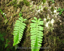 Polypodium leucotomos Extract /Polypodium leucotomos Powder/Polypodium leucotomos leaf powder