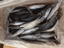 Export Africa Frozen Pacific Mackerel <strong>Fish</strong>