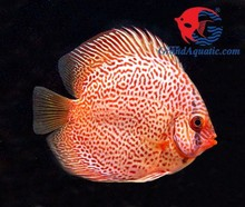 Discus Fish Breeder and exporter from Thailand