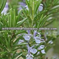 Rosemary Essential Oil/Rosemary Extract
