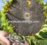 Chinese hybrid confectionery sunflower seeds tasty for snacks