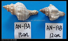 natural raw capiz sea shells for sale