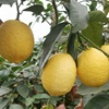 High quality wholesale price for super market fresh lemon china supplier bulk lemons