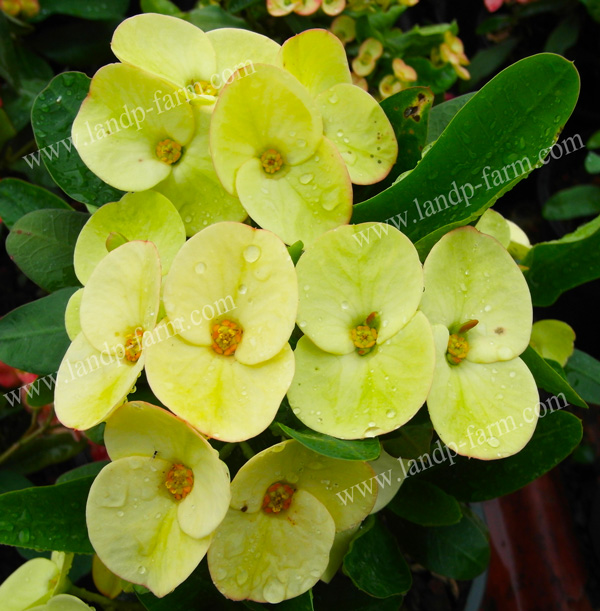 "Euphorbia Milii name's ""King yellow"""