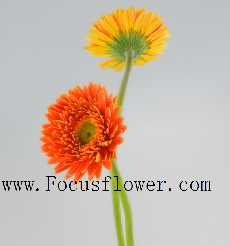 Exquisite Quality Roses/flowers Promotional Long Stem Flowers Fresh Cut Gerbera ceremony from Kunming