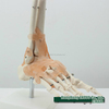 Human Foot/Hand Joint Model - with or without ligament