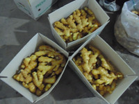chinese fresh ginger in pvc box for sale
