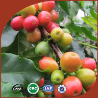 Wholesale Arabica green coffee beans without pesticide residue